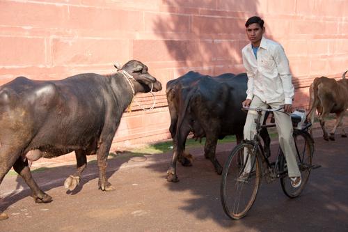 Kerbau dan sapi merajai jalanan